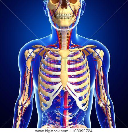 Male Skeletal Circulatory System