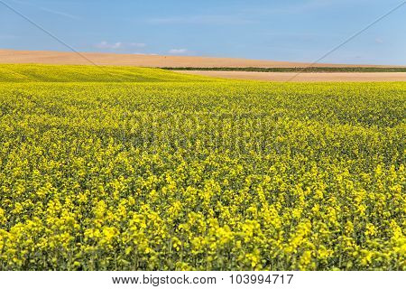 Field Of Rapeseed With Blue Sky