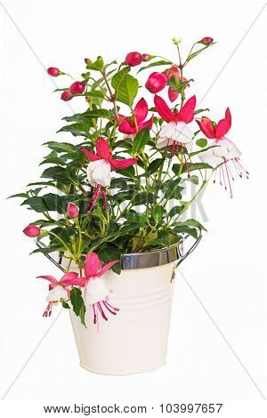 Young fushia plant growing in a container.  Variety is Swingtime