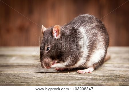 Pet rats on a wooden background