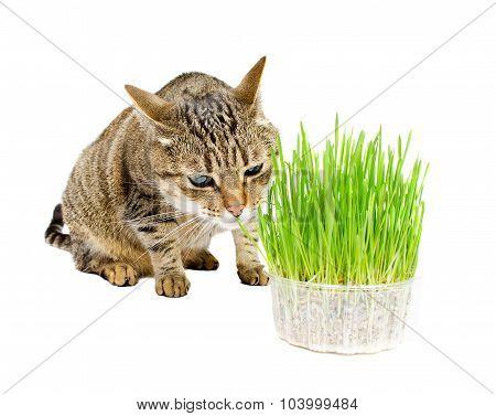 The Cat Sniffs The Fresh Grass