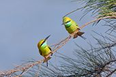 Постер, плакат: Little Green Bee eaters Couple Courtship In Goa India