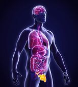 Постер, плакат: Male Reproductive System Anatomy
