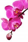 Постер, плакат: Орхидея
