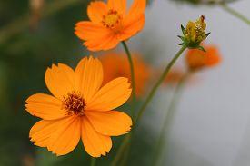 pic of cosmos flowers  - Orange cosmos flowers - JPG