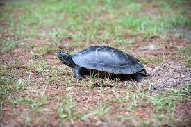 picture of cooter  - A large turtle believed to be a Suwannee Cooter laying its eggs in sandy ground near the Wakulla River in Wakulla Springs State Park Florida - JPG