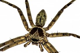 picture of huntsman spider  - brown common huntsman spider on white a background - JPG