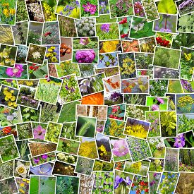 image of siberia  - A collage of photos of medicinal plants grows in Russia - JPG