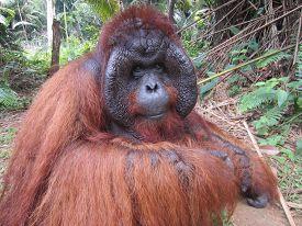 picture of orangutan  - Orangutan King sitting in Rainforest - JPG
