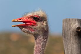 stock photo of laughable  - Head of an ostrich close up with a blurry background - JPG