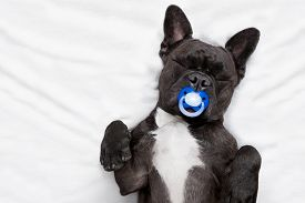 image of sweet dreams  - french bulldog dog with headache and hangover sleeping in bed like a baby with a pacifier dreaming sweet dreams - JPG