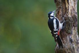 pic of woodpecker  - Great spotted woodpecker in tree trunk - JPG