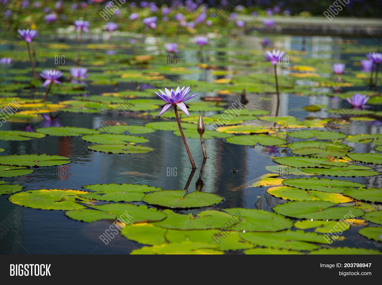 Lotus flower pond marina bay front image photo bigstock lotus flower in pond at marina bay front singapore izmirmasajfo Gallery