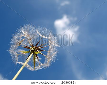 Color photo of white dandelion against blue sky with clouds