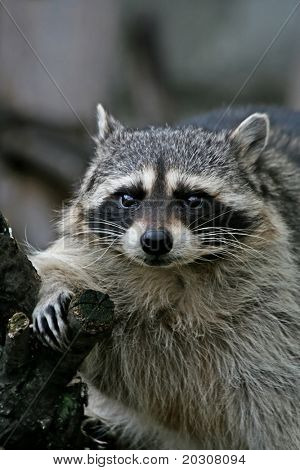 Amusing thick raccoon on a wood branch.