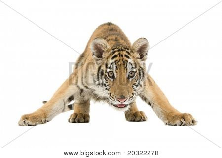 Crouching Bengal Tiger isolated on a white background.