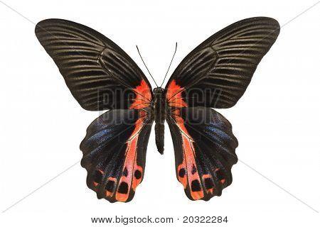 Papilio Rumanzovia.