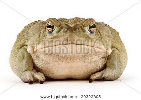 Large Sonoran Desert Toad with a small scar above his mouth, isolated on a white background