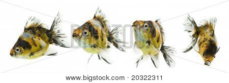 Series of calico ryukin goldfish swimming against white background.