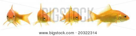 Series of comet-tailed goldfish swimming against white background.