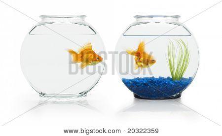 Two ryukin goldfish in contrasting fish bowls.
