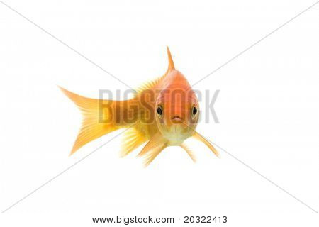 Comet-tailed goldfish swimming against white background.