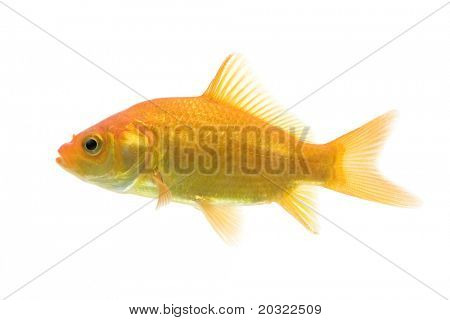 Sideview of comet-tailed goldfish swimming against white background.