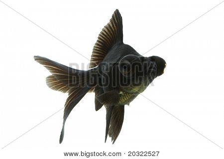 Negro goldfish Moro nadando contra el fondo blanco.