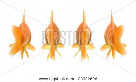 Rearview of group of comet-tailed goldfish against white background.