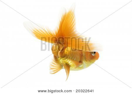 Rearview of ryukin goldfish tail against white background.