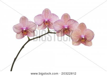 Colorful Phalaenopsis branch isolated on a white background.