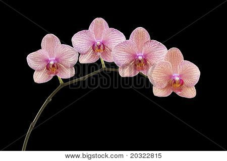 Colorful Phalaenopsis branch isolated on a black background.