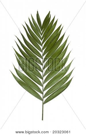 Palm leaf isolated on a white background