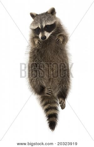 Raccoon suspended on a white background