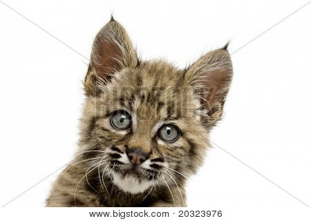 Beautiful baby bobcat face with eyes wide open