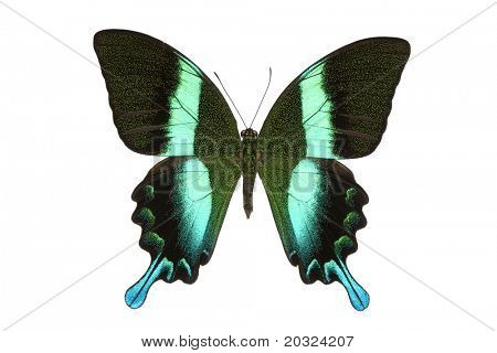 Top view of a swallowtail or birdwing butterfly (papilio blumei fruhstorferi) from the papilionidae family originating in indonesia isolated on a white background