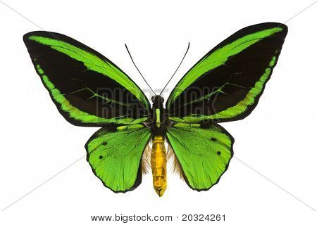 Giant emerald birdwing (O priamus poseidon) from the jungle regions of the Arfak Mountains in Indonesia