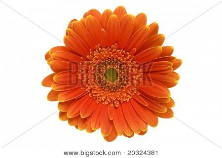 Closeup of an orange gerbera daisy isolated on a white background