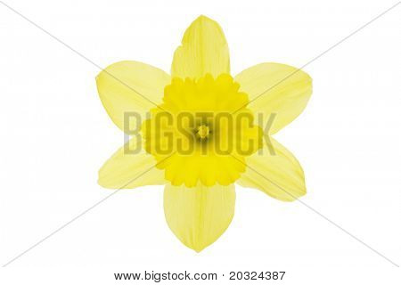 Top view of a yellow daffodil flower isolated on a white background