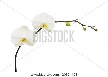 White Phalaenopsis branch isolated on a white background