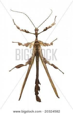 Top view of a Walking Stick isolated on a white background