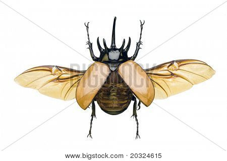 Top view of a rhinoceros beetle with wings spread from the family dynastidae originating in thailand isolated on a white background