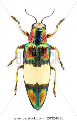 Top view of a metallic woodborer beetle or jewel beetle (chrysochroa fulgens) from the buprestidae family originating in thailand on a white background