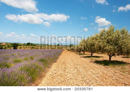 Lavender and olive trees in the fields in the French Provence at the Valensole plateau