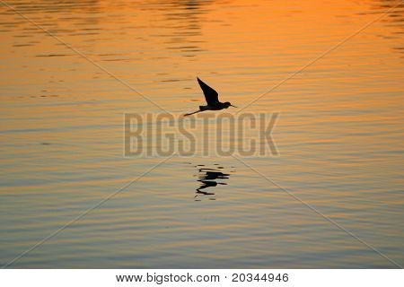 Silhouette of Sandhill Crane flying above the ocean at sunset