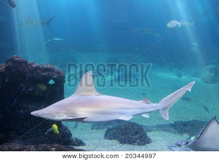 Whitetip Reef Shark in Maui tropical waters