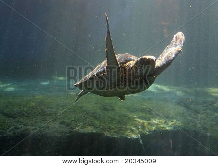 Green Sea Turtle in Maui tropical waters