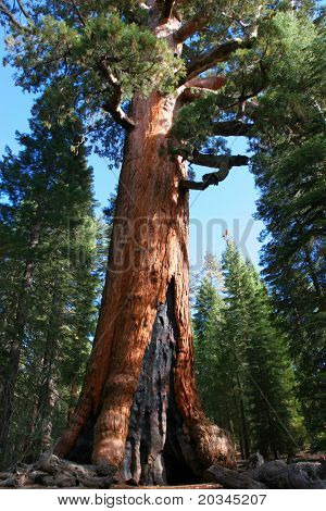 Giant Sequoia in Mariposa Grove, Yosemite