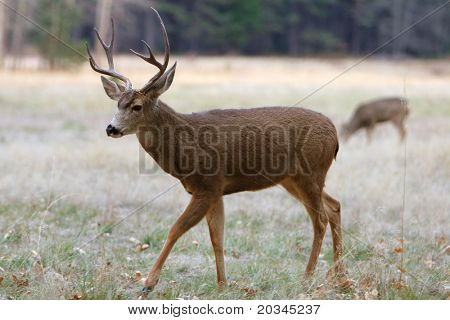 White-tailed Deer in Yosemite