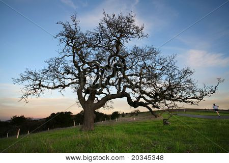 Silhouette of Oak Tree at sunset